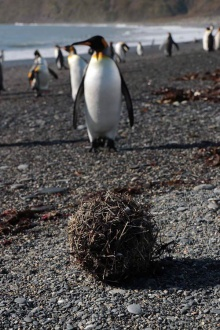 Penguin feather balls at St Andrew's Bay. Photo Roland Gockel.