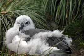 Grey-headed Albatross chick.