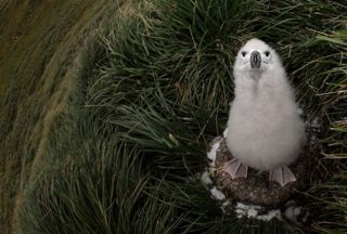 A black-browed albatross chick at home amongst the tussac grass. Photos Mick Mackey