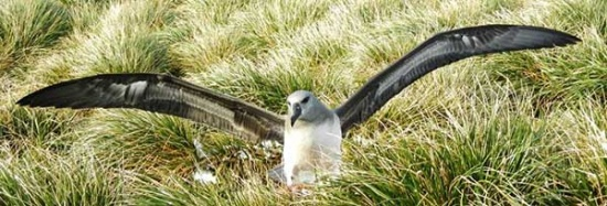 Grey-headed albatross chick stretching his wings.