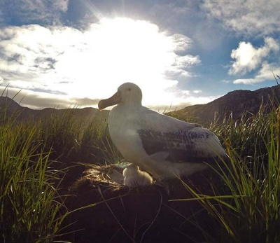 Wandering albatross parent and chick on Wanderer Ridge. Photo Cian Luck.
