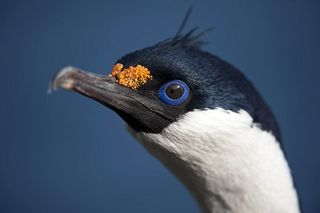 Blue-eyed shag.