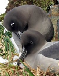 South Georgia albatrosses like these Light-mantled Sooty Albatross may be safer in future. Photo Pat Lurcock
