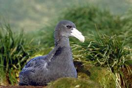 Giant Petrel chick in its black coat.
