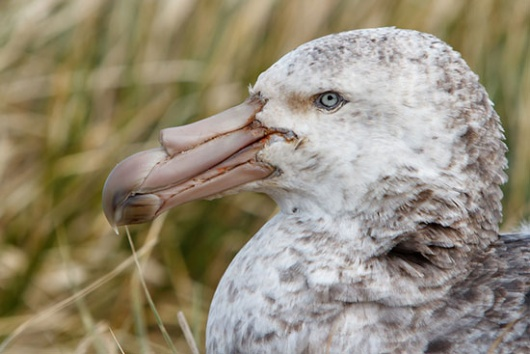 The hybrid giant petrel, see the red flecks at the tip of the beak which result from the combination of the green beak of the southerns and the red of the northerns.