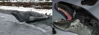 Leopard Seal sightings were infrequent but early in the month we saw these two beauties on our beaches.