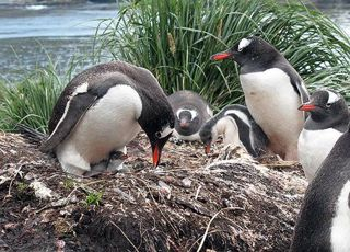 Though lots of gentoo penguin chicks were hatched in 2008/9, few survived to fledge.