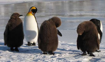 The three remaining chicks at Penguin River.
