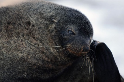 Fur seals were once so rare their whereabouts was kept secret. Photo Alastair Wilson.