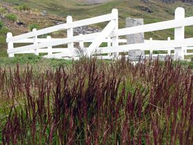 Brown bent near the cemetery at Grytviken.