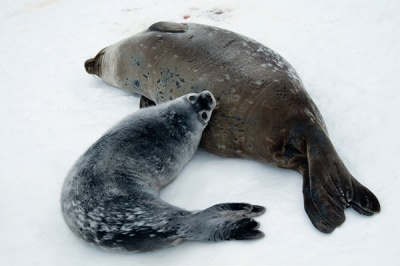 Weddell seal mother and pup. Image from Antarctic Wilderness.