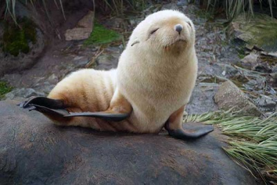 A cute blonde fur seal pup posing for the camera. Photo Robbie Scott.