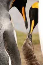 King Penguins are trying to breed at Penguin River again.