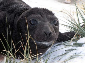 One of the early elephant seal pups.