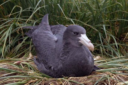 Northern giant petrel chick fully fledged and ready to leave the nest. Photo Jerry Gillham.