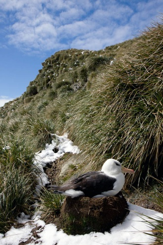 A churlish black-browed albatross in Colony J