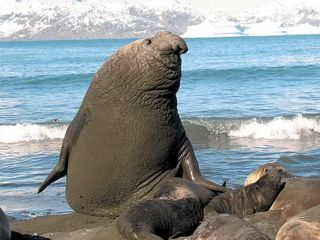 A magnificent bull Elephant Seal watches over his harem.