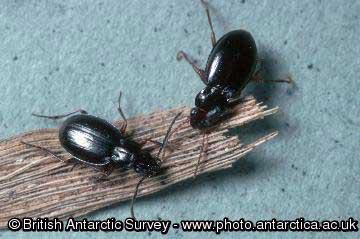 Carabid Beetle. Photo BAS