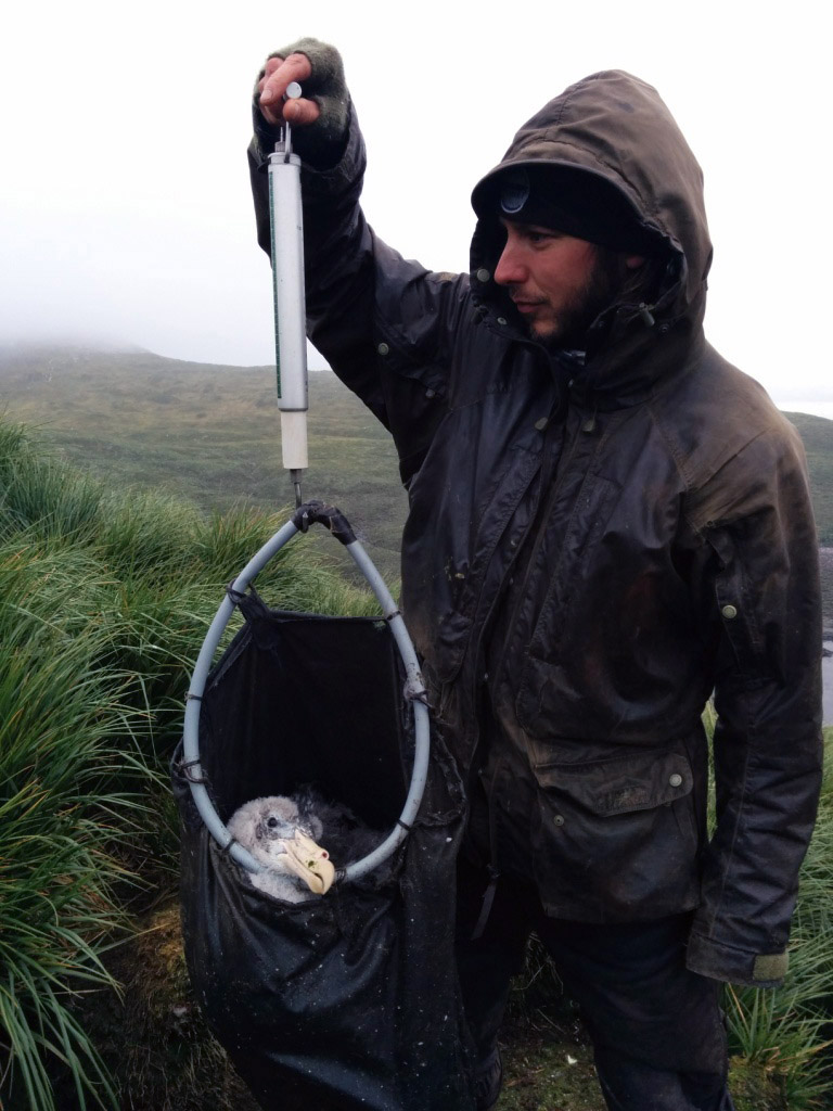Weighing a giant petrel chick. Comparing chick weights at the same stage each year tells us how healthy they are, how abundant food has been that year and will potentially allow us to predict their survival chances. Photo Alastair Wilson.