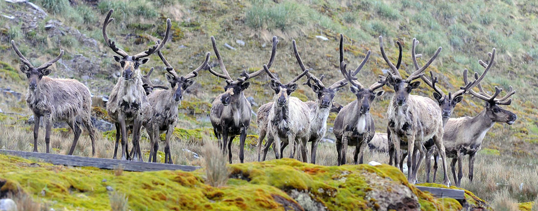 Reindeer group