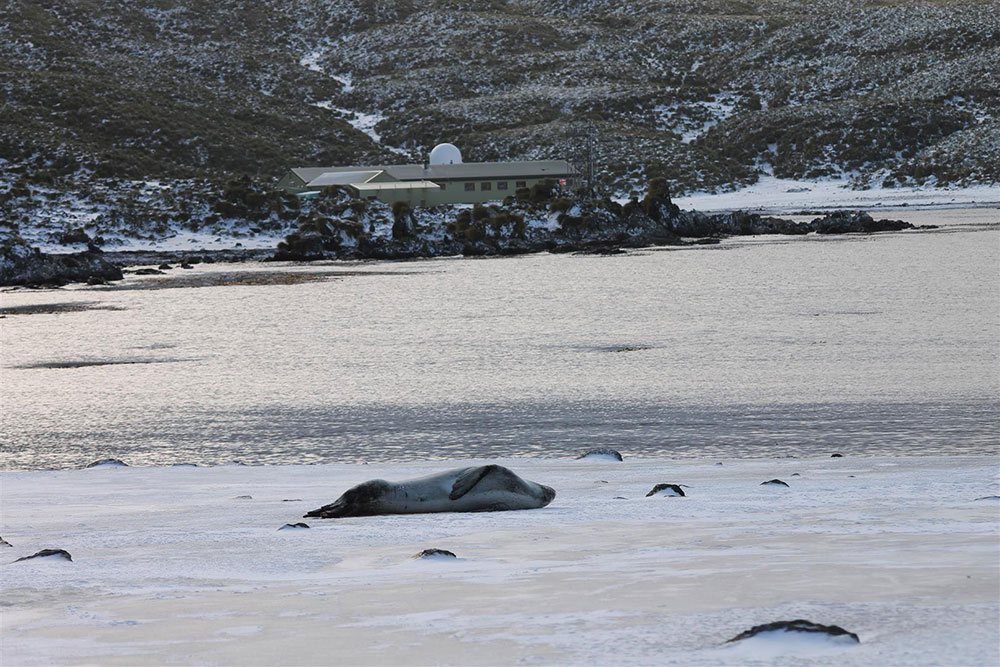 Winter scene at Bird Island, a leopard seal in front of the base.
