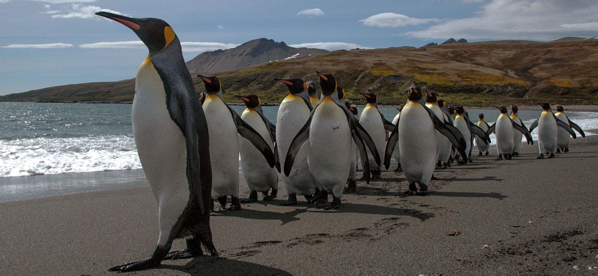 Penguins Walking on beach