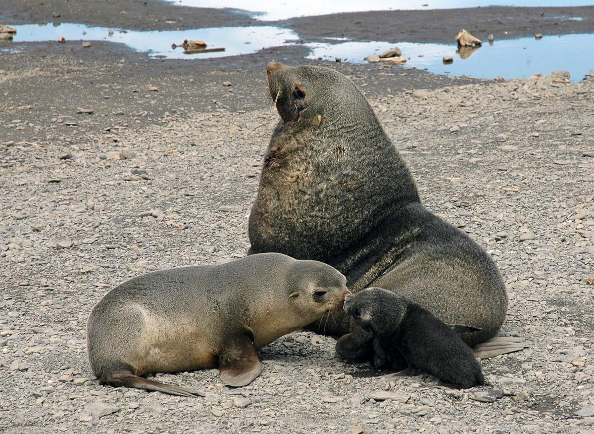 These fur seals use scent to recognise each other. Photo David Vaynor Evans, British Antarctic Survey.