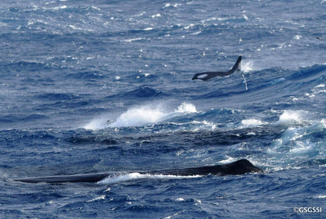 Killer and sperm whales target longline fishing vessels for a quick feed.