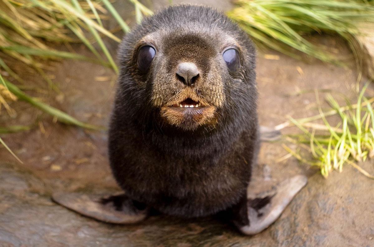 Fur-Seal-pup-Kieran-Love-1