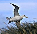 albatrossThumb