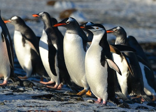 A chinstrap penguin blends in with the gentoos. Photo Rob Lord.