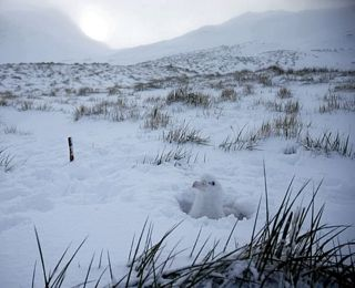 A Wandering Albatross chick after the big dump of snow.