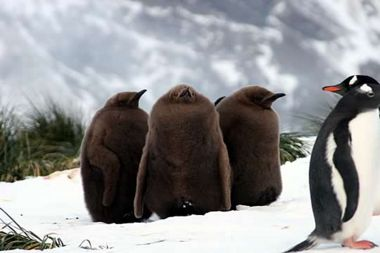 The three remaining King Penguin chicks look fat and happy. Photo Steve Artis.