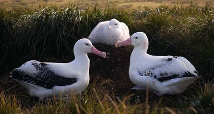 Wandering Albatross family. All photos Stephanie Winnard.
