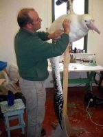 Taxidermist Steve Massam putting finishing touches to a Wandering Albatross. Photo: Ainslie Wilson