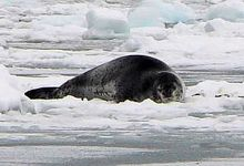 One of the leopard Seals that hauled out onto ice in King Edward Cove. Photo Tim Hudson.