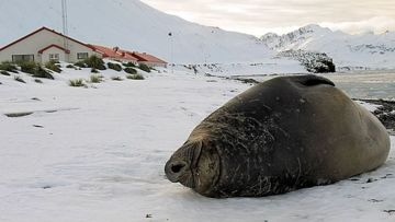 The first Elephant Seal bull to haul out at king Edward Point, an early sign of spring.