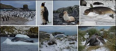Top, left to right: Gentoo Penguins at the beach club, oiled King Penguin, Antarctic Fur Seals (one is a white morph), Elephant Seal. Bottom Left to right: Leopard Seal, Wandering Albatross chicks and Northern Giant Petrel mating.