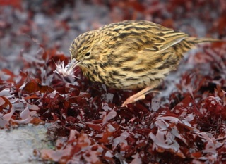 A pipit catches an amphipod amongst exposed seaweed in the intertidal zone.