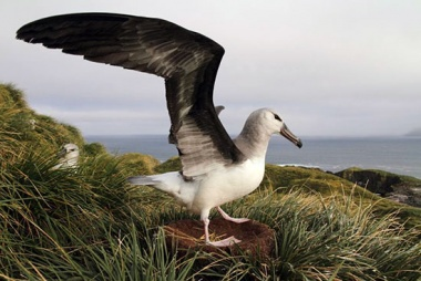 A black-browed albatross chick takes some practice flaps.