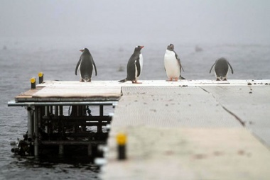 The gentoos have been trying out the new jetty.