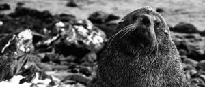Male Antarctic fur seal.