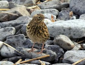 Why are so many South Georgia Pipits suddenly being seen on the main island? Photo Ainslie Wilson.