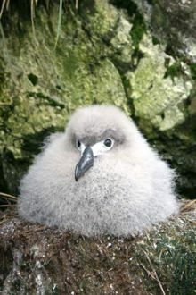 Light-mantled sooty albatross chick. Photo Stacey Adlard