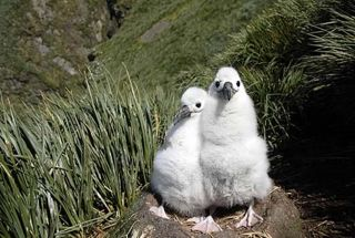 Uncommon Grey-headed Albatross nest with two unguarded chicks!!