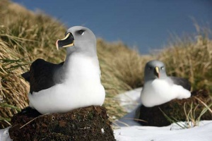 Grey-headed albatross on their nests.