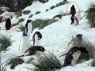 The Gentoo penguin rookery at Maiviken. The two penguins ringed are facing the camera. Photo Charles Swift.