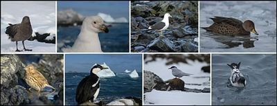 Top, left to right: 'Rex'  the Skua, Pale-faced Sheathbill, Kelp Gull, South Georgia Pintail. Bottom Left to right: South Georgia Pipit, South Georgian Shag, Antarctic Tern and Cape Petrel.