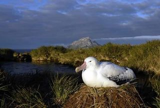 Wandering Albatross incubating its eggs in the early morning.