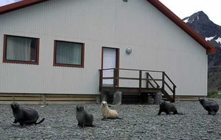 Fur Seals are increasingly making themselves at home around King Edward Point. Photo by Pat Lurcock.